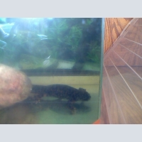 sell Spanish newts