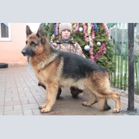 Dogs, German shepherd, Mating a German shepherd .the puppy German shepherd