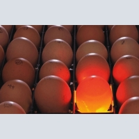 Hatching eggs from leading manufacturers in the Czech Republic.