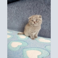 Sell Scottish fold kitten