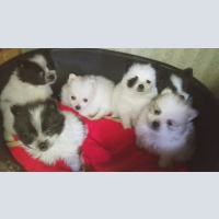 Dogs, Spitz, Pomeranian - mini bear. Little cubs.
