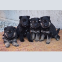 Dogs, German shepherd, Puppies from German producer