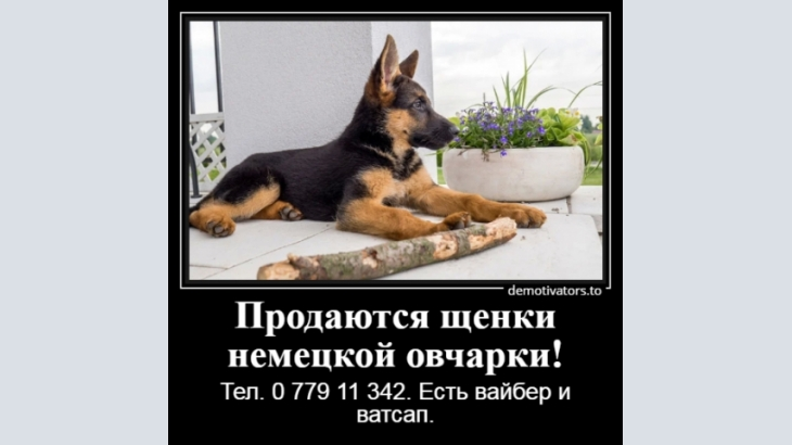 Dogs, German shepherd, In the world there is no better gift than a German shepherd!
